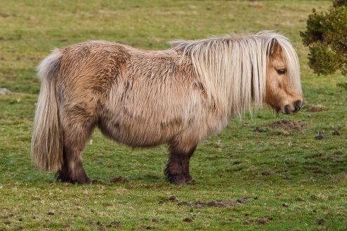 1280px-Shetland_Pony_on_Belstone_Common,_Dartmoor